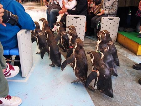 20130414 鳥羽 ペンギンのお散歩08
