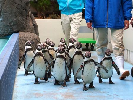 20130414 鳥羽 ペンギンのお散歩03