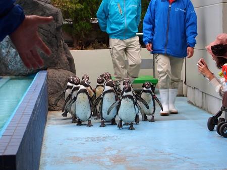 20130414 鳥羽 ペンギンのお散歩02