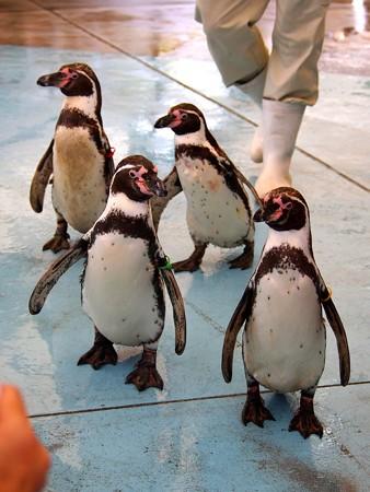 20130414 鳥羽 ペンギンのお散歩19