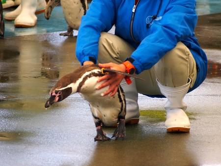 20130414 鳥羽 ペンギンのお散歩13