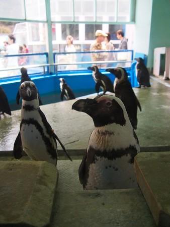 20130414 二見 ペンギン舎03