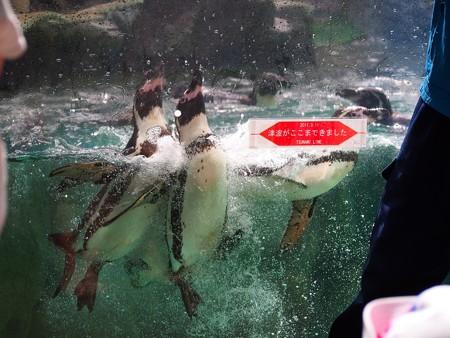 20130803 松島 ペンギンプールの津波ライン03