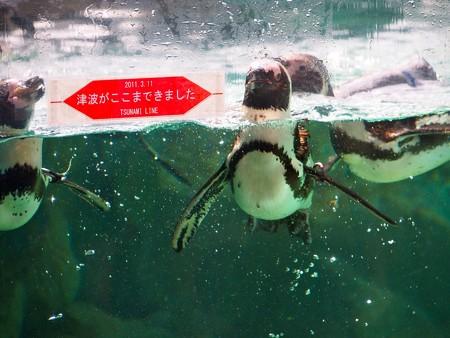 20130803 松島 ペンギンプールの津波ライン02
