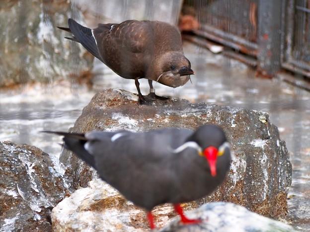 20130914 上野 インカアジサシ幼鳥02