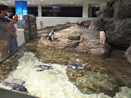 20130905 海遊館 イワトビプール02