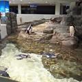 Photos: 20130905 海遊館 イワトビプール02