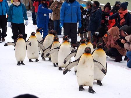 20140124 旭山 ペンギンの散歩04