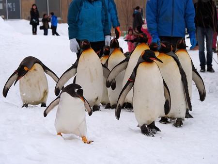 20140124 旭山 ペンギンの散歩08