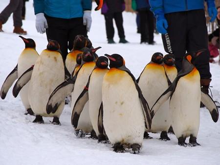 20140124 旭山 ペンギンの散歩07