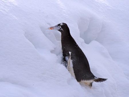 20140124 旭山 ペンギンの散歩22