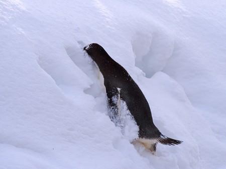 20140124 旭山 ペンギンの散歩21