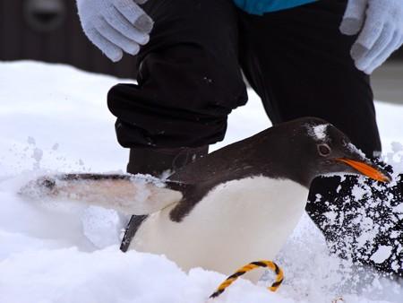 20140124 旭山 ペンギンの散歩20