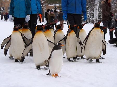 20140124 旭山 ペンギンの散歩14