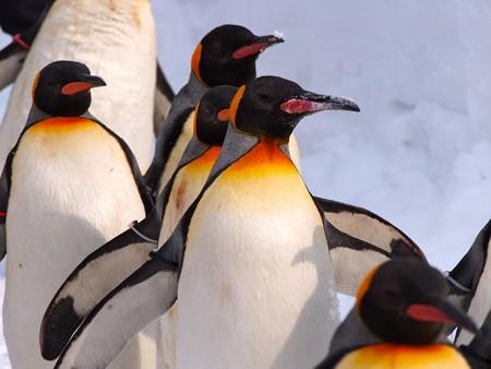 20140124 旭山 ペンギンの散歩26