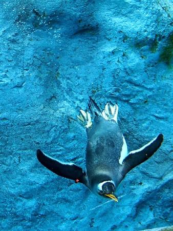 20140124 旭山 ペンギンプール09