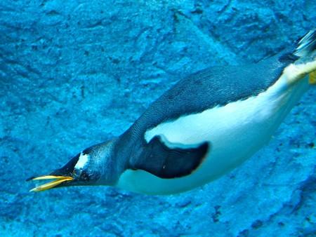 20140124 旭山 ペンギンプール08