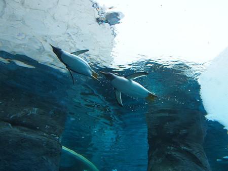 20140124 旭山 ペンギンプール07