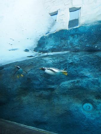 20140124 旭山 ペンギンプール05