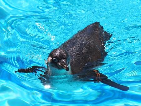 20130515 大洗 ペンギンプール09
