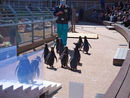 20140315 大洗 ペンギンのお散歩09