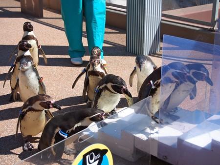 20140315 大洗 ペンギンのお散歩05