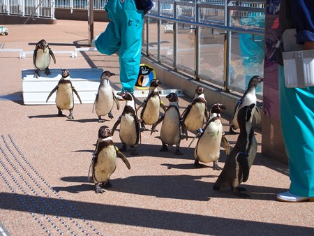 20140315 大洗 ペンギンのお散歩04