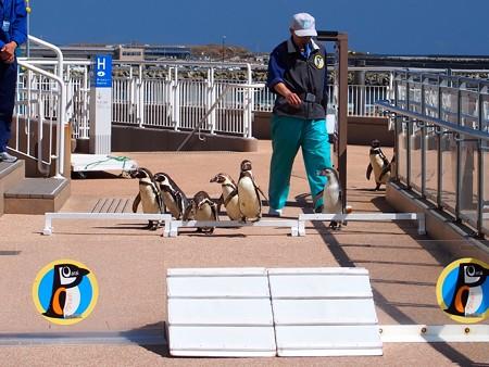 20140315 大洗 ペンギンのお散歩02