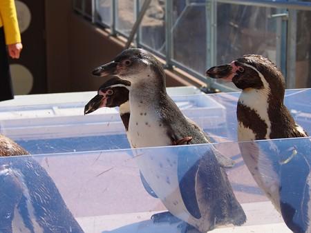 20140315 大洗 ペンギンのお散歩16