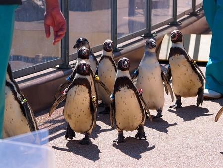 20140315 大洗 ペンギンのお散歩12