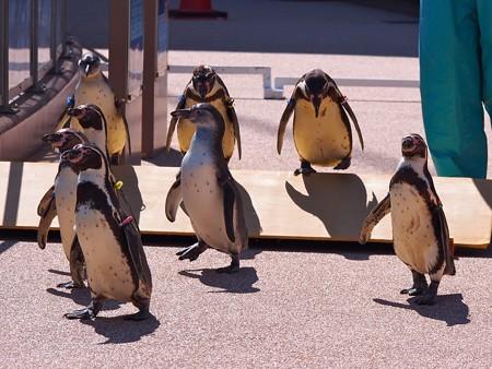20140315 大洗 ペンギンのお散歩11