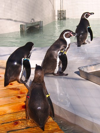 20140322 井の頭 ペンギンプール04