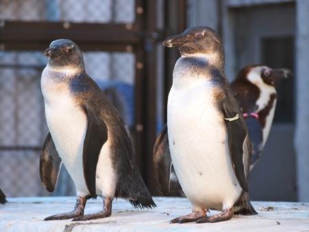 20140321 上野 ペンギン達09