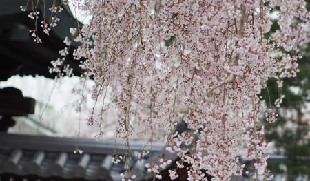 高台寺しだれ桜