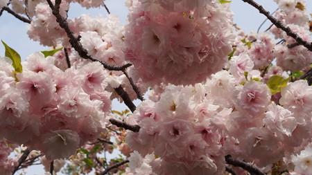 造幣局桜の通り抜け