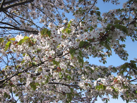桜の花びら*
