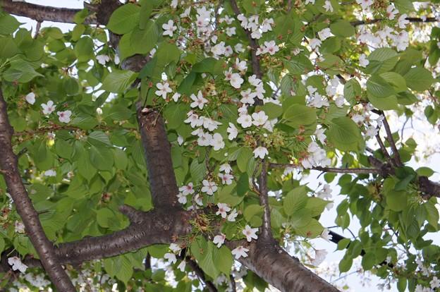 春の嵐に耐え残った桜