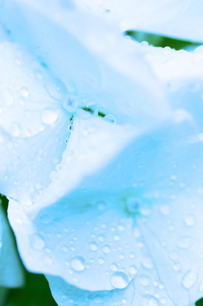 Photos: 涼しさを求めて 水滴と紫陽花 1
