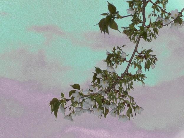 オオシマザクラ 印象 4
