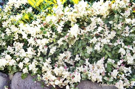 白いお花が眩しい