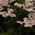 Photos: 13桜104