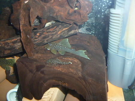 20120824 45cmプレコ水槽のブルーフィンペコルティアとミニブッシーの稚魚