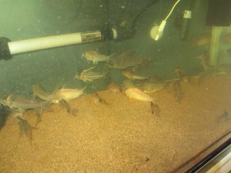 20121116 60cmコリドラス水槽の掃除中