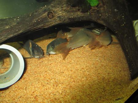 20130110 60cmコリドラス水槽のコリドラス達