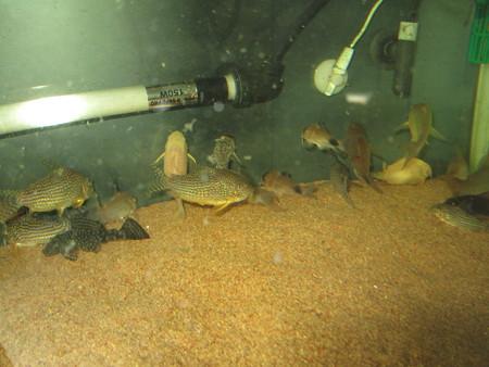 20130118 60cmコリドラス水槽の掃除中