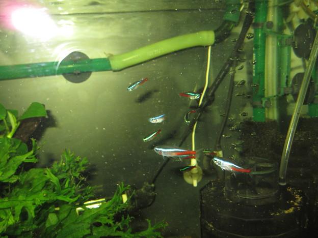 Photos: 20130301 60cmコリドラス水槽のネオンテトラ