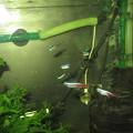 20130301 60cmコリドラス水槽のネオンテトラ