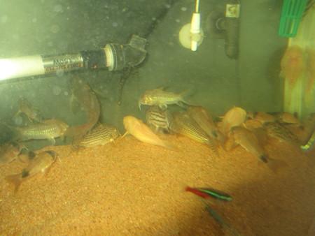 20130303 60cmコリドラス水槽の掃除中