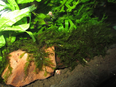 20130303 60cmエビ水槽の稚エビ