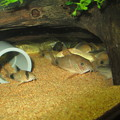 Photos: 20130309 60cmコリドラス水槽のコリドラス達